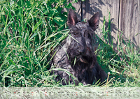 Scotch Terrier Kalender 2012 Juni