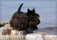 Scottish Terrier Kalender 2012 Juli