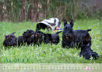 Scottish Terrier Kalender 2012 August
