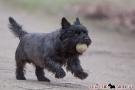 Cairn Terrier 201003