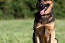schaeferhund-005-9201