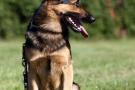 schaeferhund-006-9202