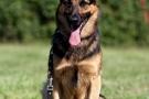 schaeferhund-007-9207