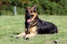 schaeferhund-008-9243