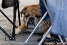 Fotos von der Internationalen Hundeausstellung Berlin 2011