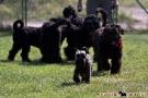 schwarzer-terrier-003-0316