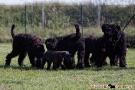 schwarzer-terrier-004-0336