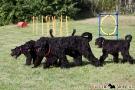 schwarzer-terrier-005-0367