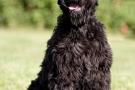 schwarzer-terrier-007-8781