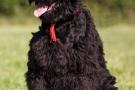 schwarzer-terrier-008-8801
