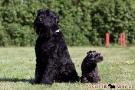 schwarzer-terrier-012-8967