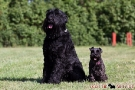 schwarzer-terrier-013-8969