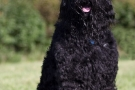 schwarzer-terrier-017-9009