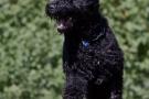 schwarzer-terrier-020-9595