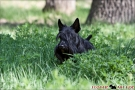 scottish-terrier_dickie_09507-1