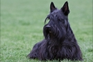 scottish-terrier_dickie_10167-1