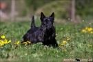 scottish-terrier_dickie_39623-1