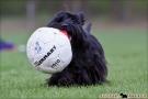 scottish-terrier_dickie_50395