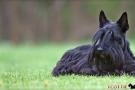 Scottish Terrier Frühjahr 2012