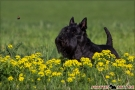 scottish-terrier_dickie_80541-1