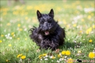 05-scottish-terrier_dickie_2597