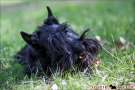 Scottish Terrier Frühling 2013