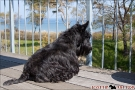 Scottish-Terrier_Ostsee-2011_0422