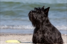 Scottish-Terrier_Ostsee-2011_0733
