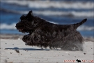 Scottish-Terrier_Ostsee-2011_1588-1