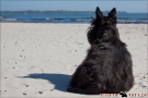 Scottish-Terrier_Ostsee-2011_2303