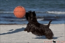 Scottish-Terrier_Ostsee-2011_2597