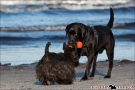 Scottish-Terrier_Ostsee-2011_2868-1