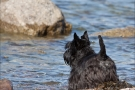 Scottish-Terrier_Ostsee-2011_3127