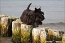 Scottish-Terrier_Ostsee-2011_3980