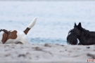 Scottish-Terrier_Ostsee-2011_4805-1
