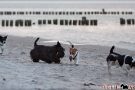 Scottish-Terrier_Ostsee-2011_4821-1