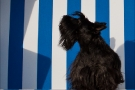 Scottish-Terrier_Ostsee-2011_5021