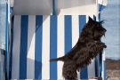 Scottish-Terrier_Ostsee-2011_5055