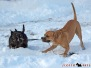 Scottish Terrier 201001