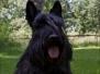 Scottish Terrier Sommer 2012