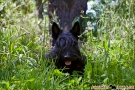 Scottish Terrier Sommer 2012