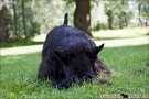 scottish-terrier_sommer-2012_4748-1