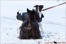 Scottish Terrier Winter 2012/2013