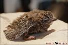 Mauersegler Jungvogel