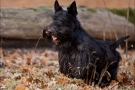 scottish-terrier_herbst_5508