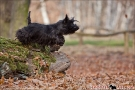 scottish-terrier_herbst_5528