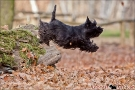 scottish-terrier_herbst_5529-1