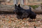 scottish-terrier_herbst_5571