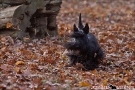 scottish-terrier_herbst_5736