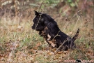 scottish-terrier_herbst_5930